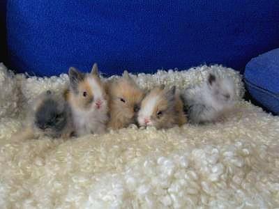 Ou Adopter Un Lapin Nain Adoption Lapin Les Petits Lapins