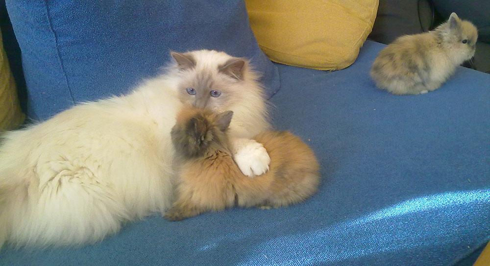 Entente entre un chat et mon lapin Pitchoune quand elle était bébé