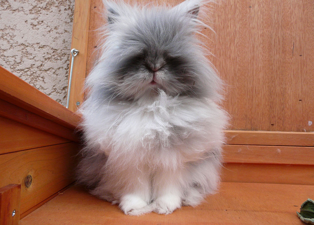 Gribouille, ma lapine naine angora