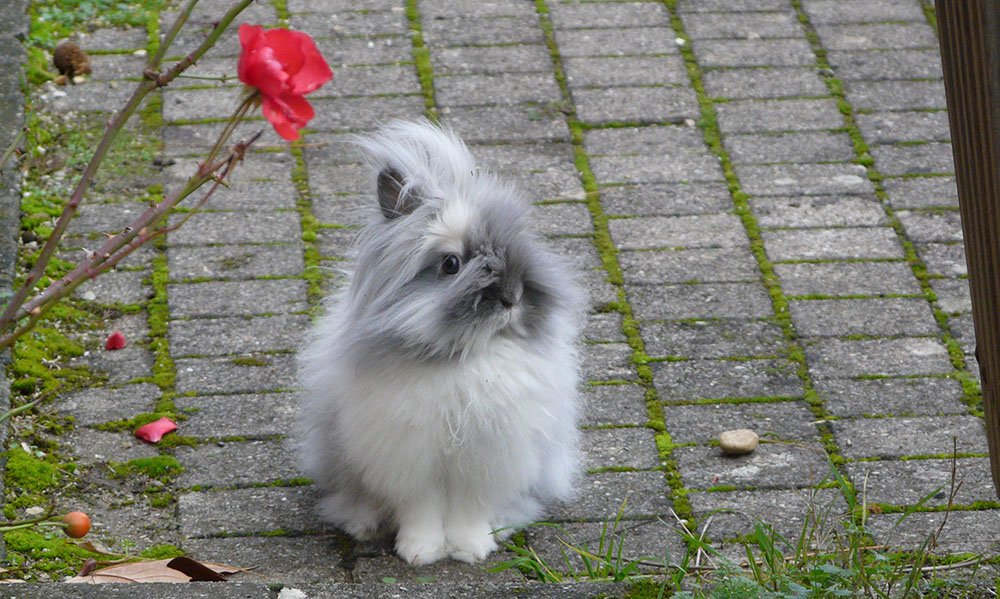Gribouille, mon lapin nain angora