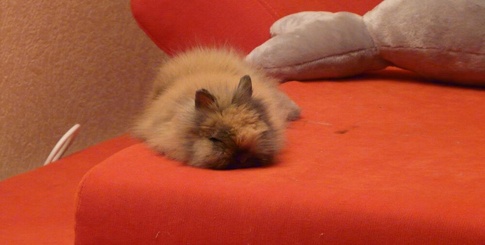 Lapin dort de tout son long