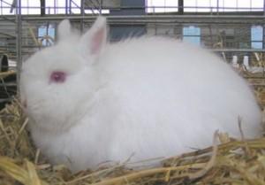 lapin nain renard blanc