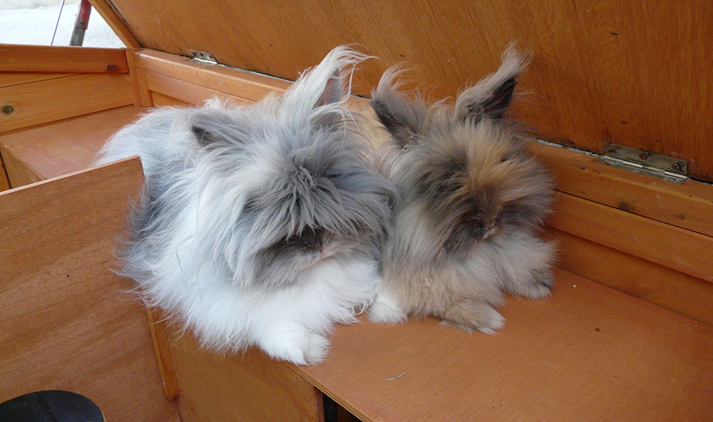 Amitié entre mes deux lapins