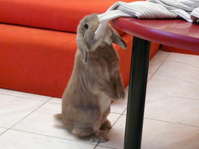 Guimly, lapin nain curieux