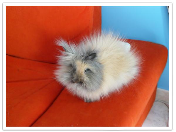 Quand un lapin nain angora l 39 lectricit statique a donne a les petits lapins - Comment enlever l electricite statique ...