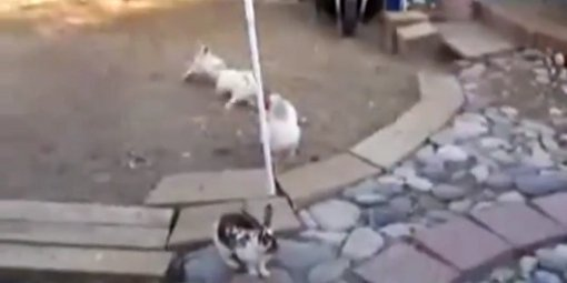 Deux poules font cesser une bagarre de lapins