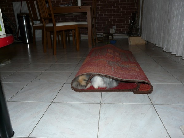 lapins-caches-tapis