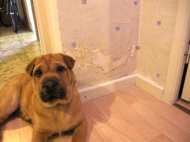 Bêtise de la petite chienne Nala qui a arraché le papier peint