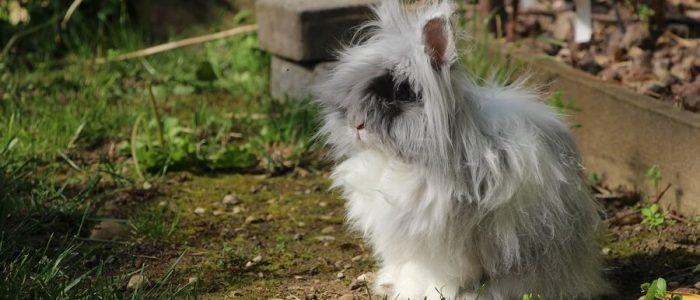 Gribouille, mon petit lapin nain angora