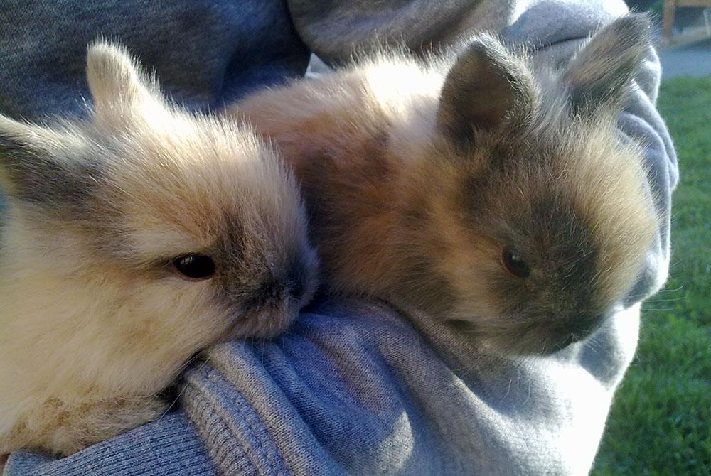 Sociabilisation des bébés lapins
