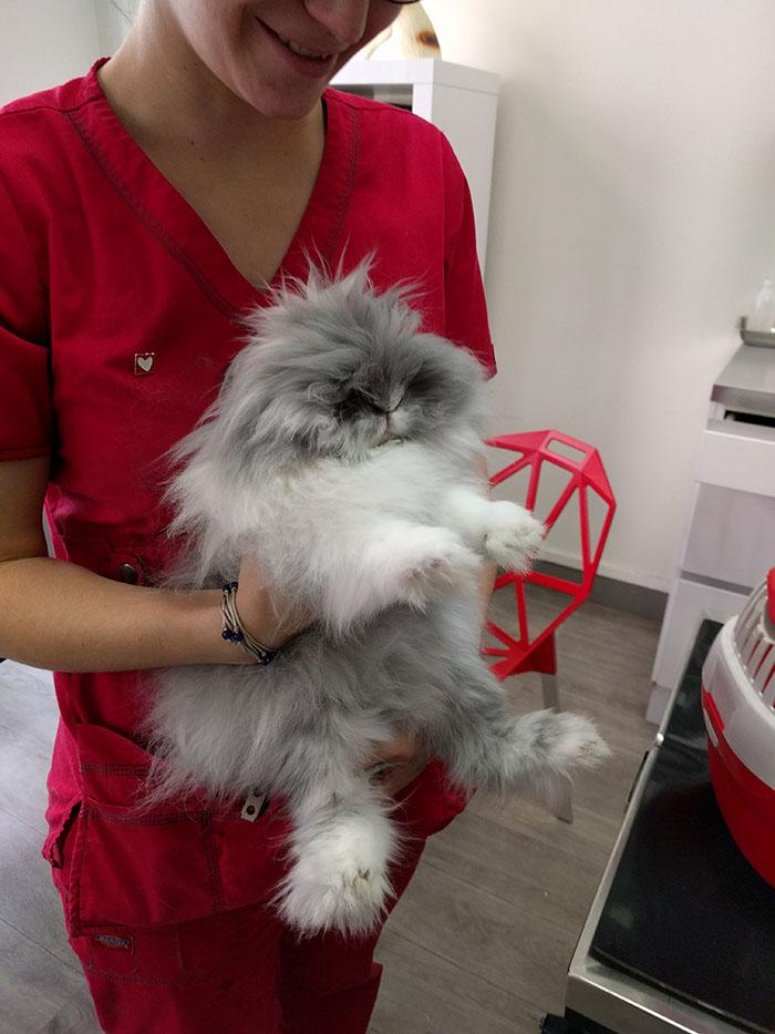 Gribouille, ma petite lapin angora, chez le vétérinaire pour se faire vacciner